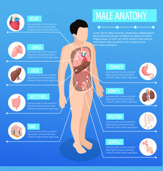 Male anatomy isometric poster vector
