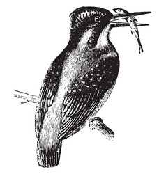 Kingfisher vintage vector