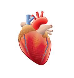 human heart isolated vector image