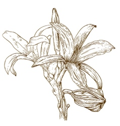 Engraving lily vector