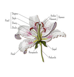 Parts of the flower infographics lily flower vector