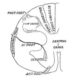 Spinal accessory nerve vintage vector