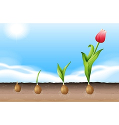 A tulip vector