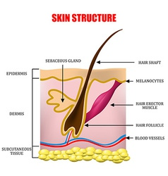 Skin structure vector image