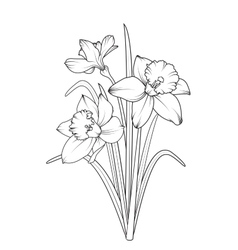 Daffodils narcissus spring flowers isolated vector image