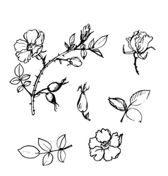 Wild rose tree branch with leaves and vector