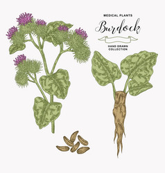 Burdock plant hand drawn medical and cosmetic vector