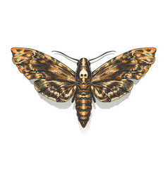 deaths head hawkmoth vector image