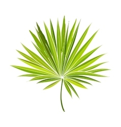 Fan shaped leaf of palmetto tree vector