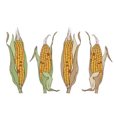 corn on the cob vector image