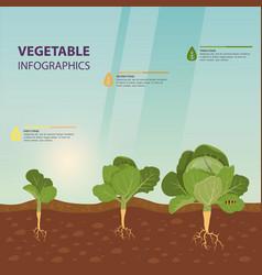 headed cabbage infographic template vegetable vector image