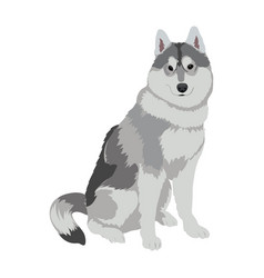 husky dog sitting isolated on white background vector image