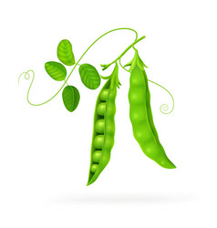 peas isolated on white photo-realistic isolated on vector image