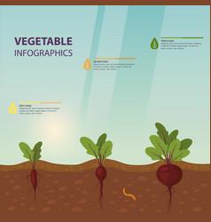 Infographic or infochart beet or beta vulgaris vector