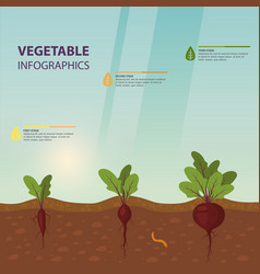 infographic or infochart of beet or beta vulgaris vector image
