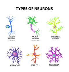 types of neurons structure sensory motor neuron vector image