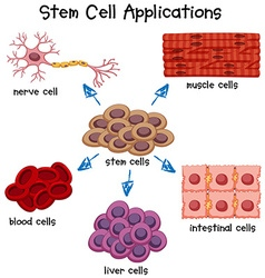 Poster showing different stem cell applications vector image vector image