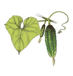 Hand drawn cucumber branch vector