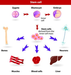 stem cells vector image