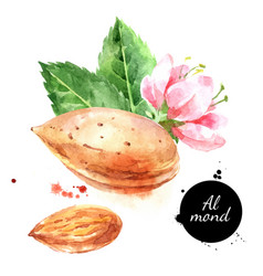 watercolor almond nut painted isolated superfood vector image