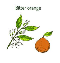Bitter orange twig with flowers vector
