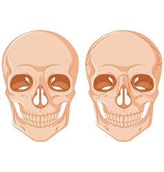 Two skulls on white background vector