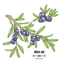 hand drawn black olive branch in sketch style vector image
