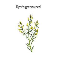 Dyer s greenweed or dyer s broom genista tinctoria vector