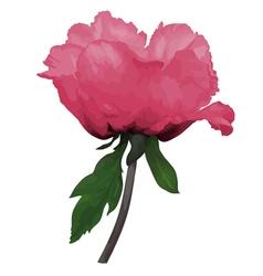 Plant paeonia arborea tree peony pink flower vector