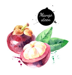 Watercolor mangosteen fruit painted isolated vector