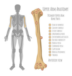 human upper arm anatomy vector image