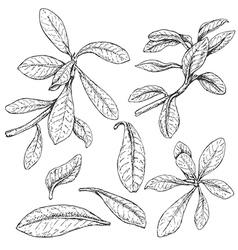 doodle Synadenium vector image
