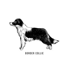 hand sketched border collie vector image
