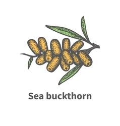 Hand-drawn bunch of ripened juicy sea buckthorn vector