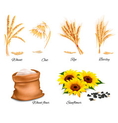 ears of wheat oat rye sunflower and barley vector image