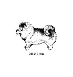 hand drawn chow chow vector image
