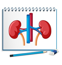 Human kidney on paper vector