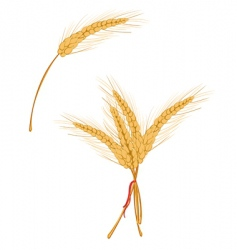 wheat as agriculture symbol vector image