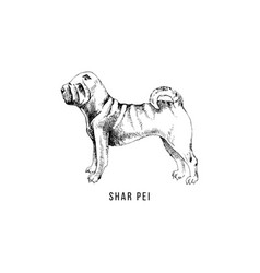 hand drawn shar pei vector image