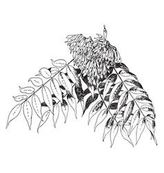 Ailanthus altissima vintage vector