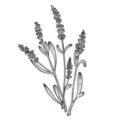 lavandula flower sketch engraving vector image