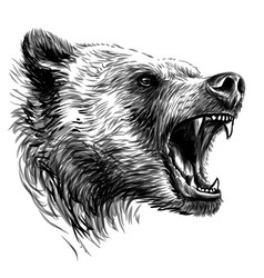 growling bear sketchy portrait a angry bear vector image