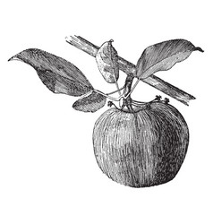 Apple side bud vintage vector