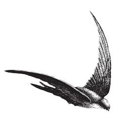 Salangane swallow vintage vector