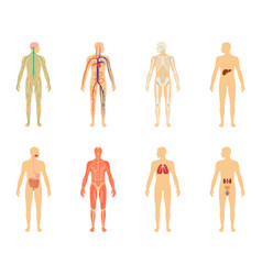human anatomy set of isolated vector image