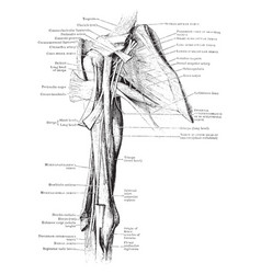 Muscles and nerves of the arm vintage vector