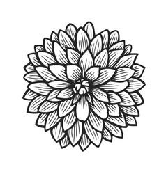 hand drawn dahlia vector image