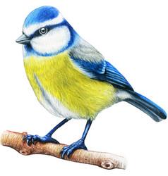 bluetit hand drawn bird watercolor colored pencils vector image