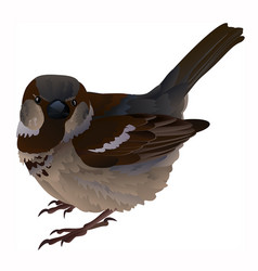Wild male sparrow isolated vector