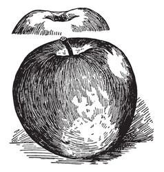 Grimes apple vintage vector